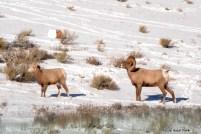 Bighorn Rut