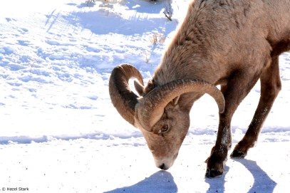 Male Bighorn Licking Road