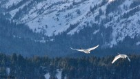 Trumpeter Swans in Grand Teton National Park, January 1, 2014