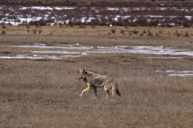 A coyote enjoying the sunshine in early spring