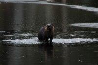 River Otter (3)