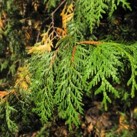 Eastern White Cedar, or Arbor Vitae