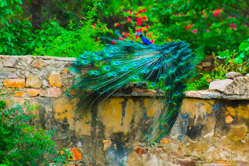 A wild peacock mating in India