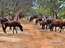 Horses and buffalos in the country side of Thailand