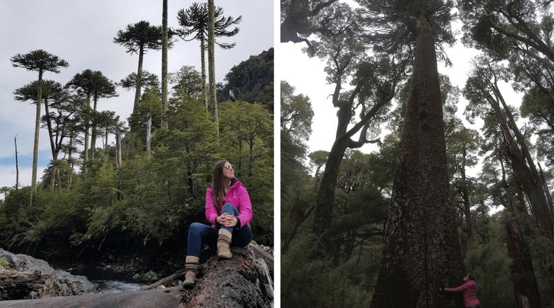 Parques como el Villarrica, con milenarias araucarias, son puntos que no puedes dejar de visitar
