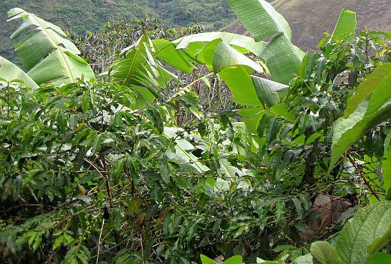 Peru: Kavos ir bananų plantacija