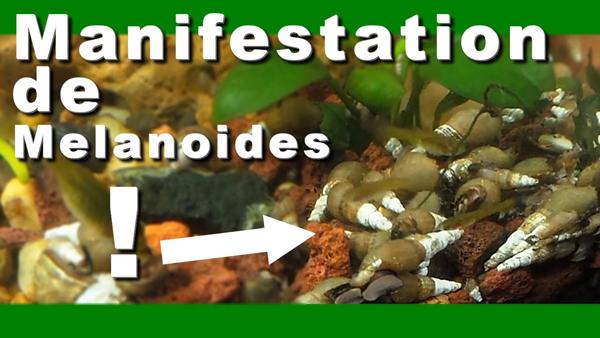 Melanoides