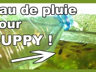 eau de pluie pour guppy aquariums