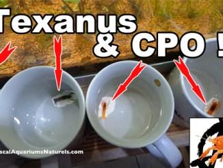 acclimatation de mes écrevisses CPO et Texanus !
