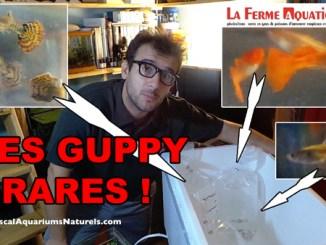 Mes Guppy Rares, merci à La Ferme Aquatique