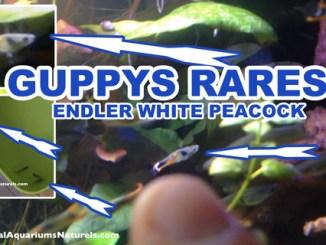 ENDLER WHITE PEACOCK !
