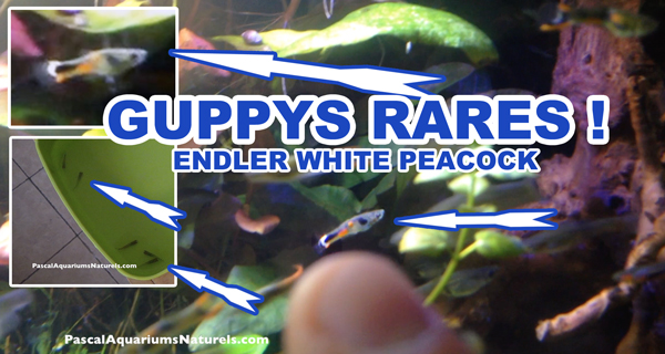 ENDLER WHITE PEACOCK !