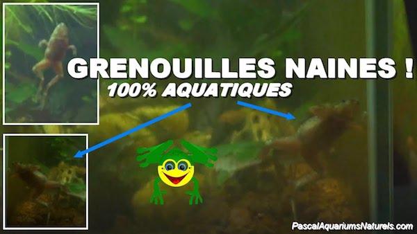 Grenouilles naines d'aquariums 100% aquatiques !
