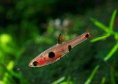 Boraras maculatus - source image : theaquariumwiki.com