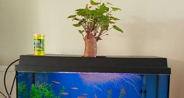 Une patate douche dans un aquarium, regardez les racines – source : naturaliste.tk Crédit: Nicky Stedman, tous droits réservés.