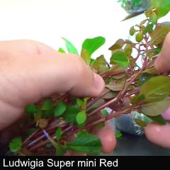 plant_07-ludwigia-supmini-red