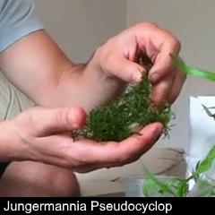 plant_08-jungerm-pseudocyclop
