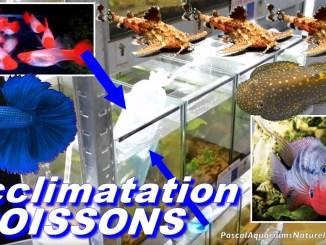 acclimatation de nouveaux poissons (certains rares !)