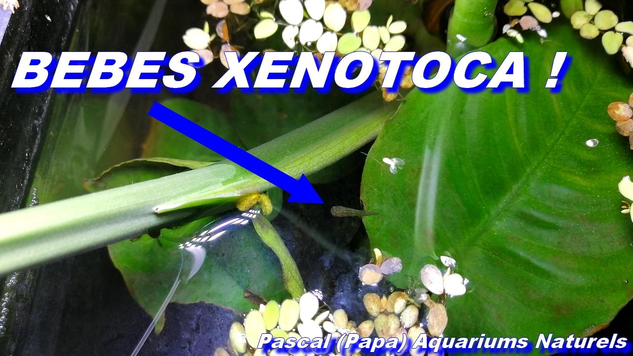 alevins xenotoca