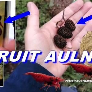 fruit aulne