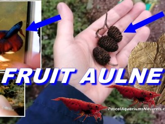 fruit aulne