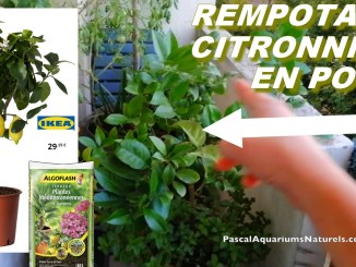 rempotage citronnier en pot
