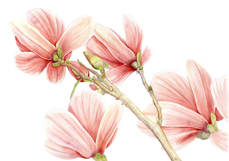drawing a lily magnolia with watercolor