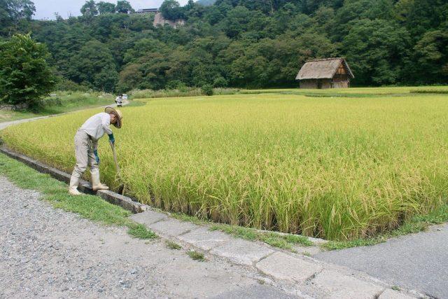 Cultivo en Shirakawa