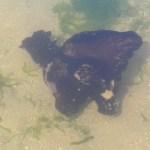Fauna: Liebre de mar.
