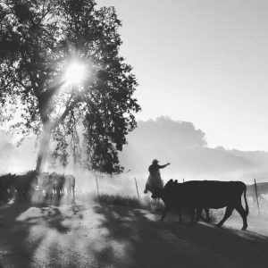 Rangeland cattle roundup
