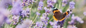 Monarch Butterfly on Purple Flowers in Field | Our Therapists | Passages Women's Counseling | East Setauket, NY 11733