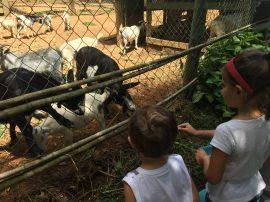 cabras que divertem as crianças