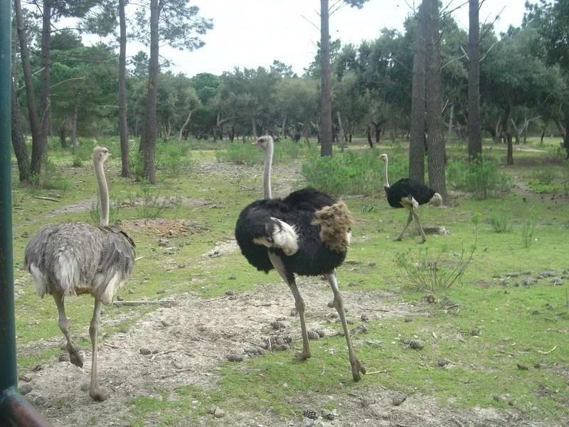 Avestruzes no Safari Alentejano