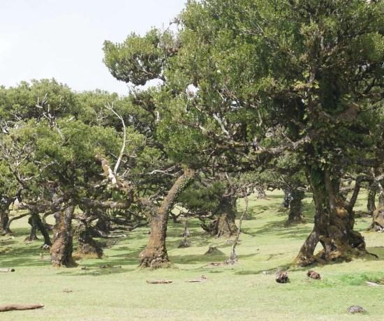 Floresta Laurissilva: Fanal