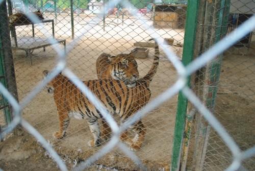 Tigres esperando a comida