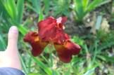 compare com o dedo o tamanho da flor! gigante!