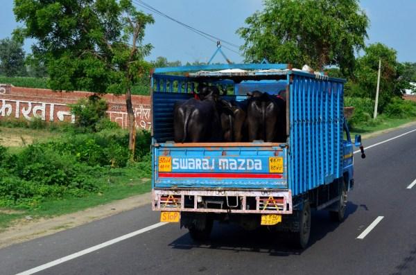 #TheRoyalReuvenation Journey to Namah Resorts. The bulls in transit...