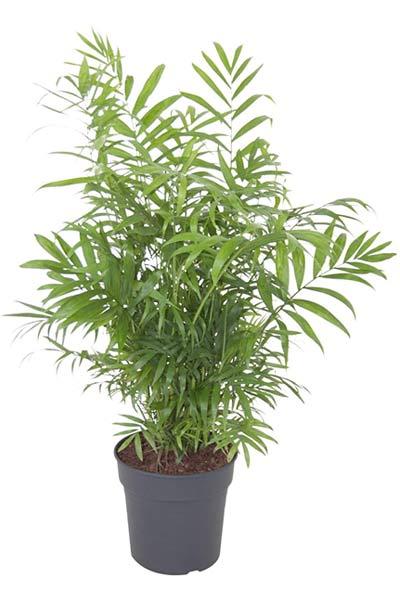 plantes dépolluantes palmier nain