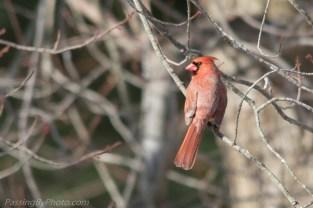 Back yard male cardinal