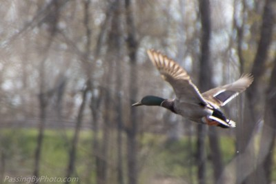 Mallard on the move