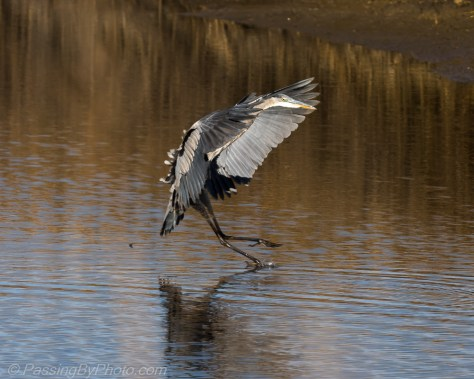 Great Blue Heron Photograph