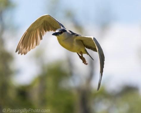 Black-crowned Night-Heron