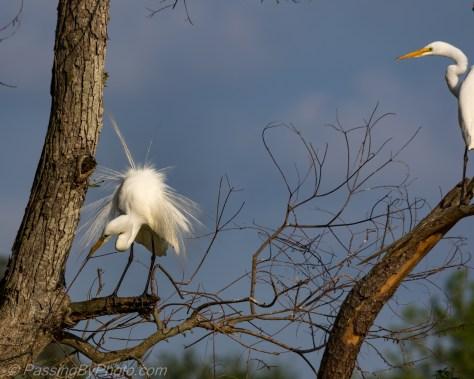 Great Egrets in Tree