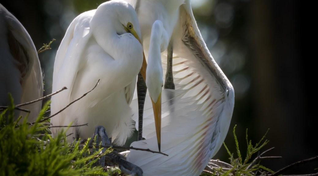 Great Egret parent huddled over chick