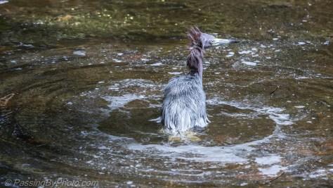 Little Blue Heron taking bath