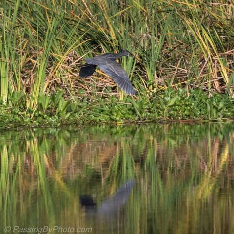 Juvenile Yellow-crowned Night-Heron
