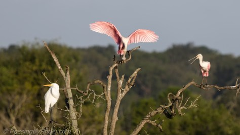Spoonbill Landing in Tree with Great Egret