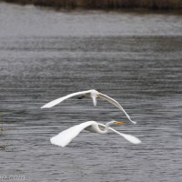 Follow Me: Great Egrets