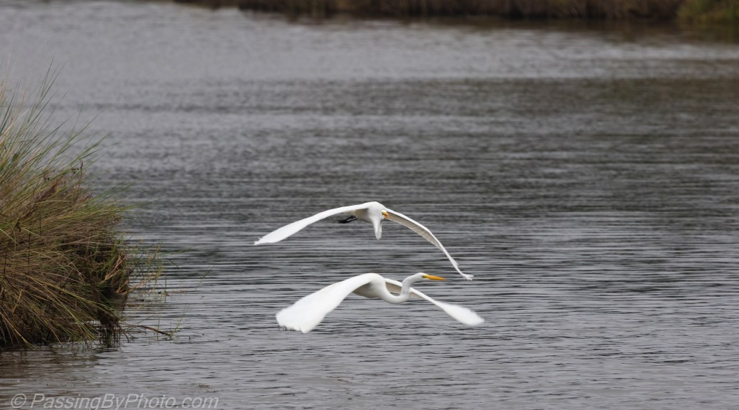 Great Egrets Flying Low
