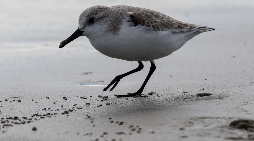 Small Shore Bird